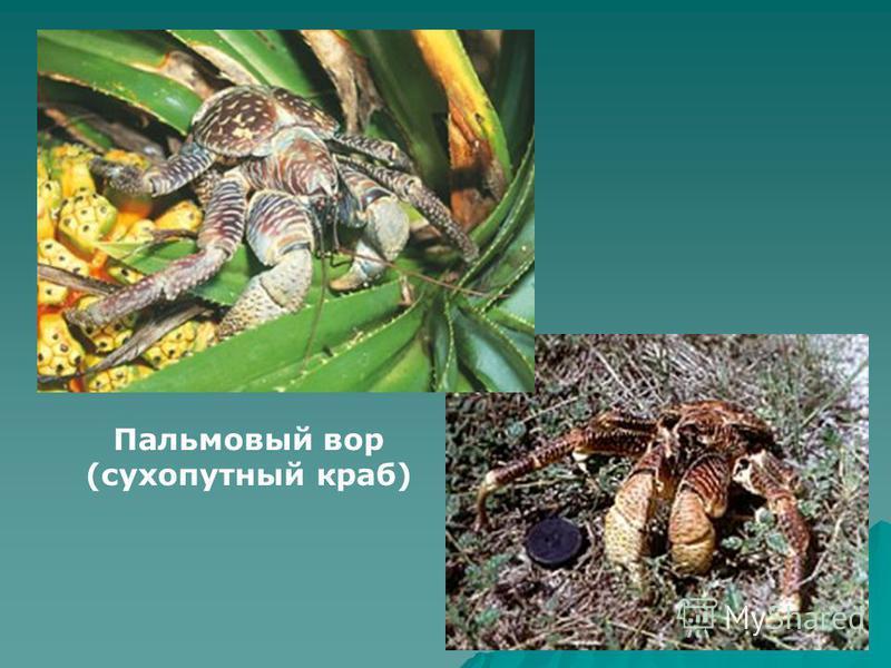 Пальмовый вор (сухопутный краб)