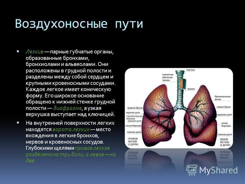 Воздухоносные пути Легкие парные губчатые органы, образованные бронхами, бронхиолами и альвеолами. Они расположены в грудной полости и разделены между собой сердцем и крупными кровеносными сосудами. Каждое легкое имеет коническую форму. Его широкое о
