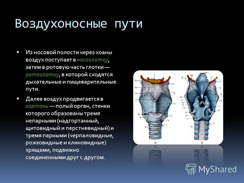 Воздухоносные пути Из носовой полости через хоаны воздух поступает в носоглотку, затем в ротовую часть глотки ротоглотку, в которой сходятся дыхательные и пищеварительные пути. Далее воздух продвигается в гортань полый орган, стенки которого образова