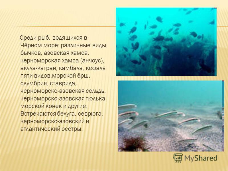 Чёрное море подходит для обитания достаточно неприхотливых видов, на всех стадиях развития которых не требуются большие глубины. На дне Чёрного моря обитают мидии, устрицы, а также моллюск-хищник рапана, занесённый с кораблями с Дальнего Востока. В р
