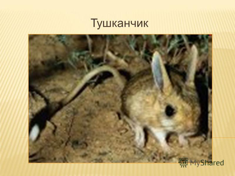 ОТГАДАЙ Грызуны от средних до очень мелких размеров: длина тела у них от 4 до 26 см. Хвост длиннее туловища (7-30 см), часто с плоской чёрно-белой кисточкой на конце, служащей рулём при беге, а также визуальным сигналом опасности.