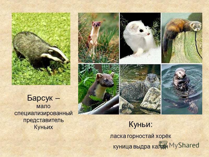 Куньи: ласка горностай хорёк куница выдра калан Барсук – мало специализированный представитель Куньих