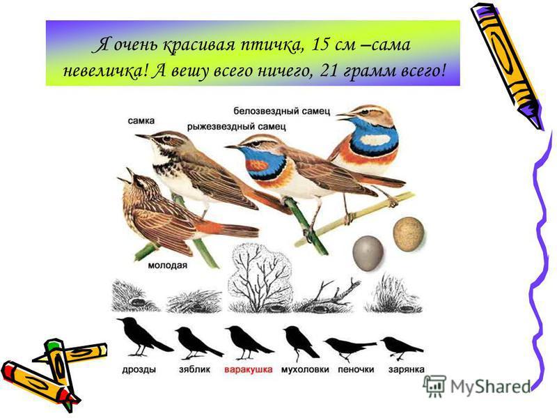 Я очень красивая птичка, 15 см –сама невеличка! А вешу всего ничего, 21 грамм всего!