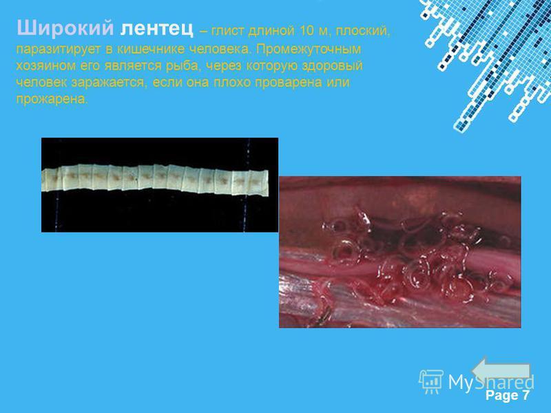 Powerpoint Templates Page 7 Широкий лентец – глист длиной 10 м, плоский, паразитирует в кишечнике человека. Промежуточным хозяином его является рыба, через которую здоровый человек заражается, если она плохо проварена или прожарена.