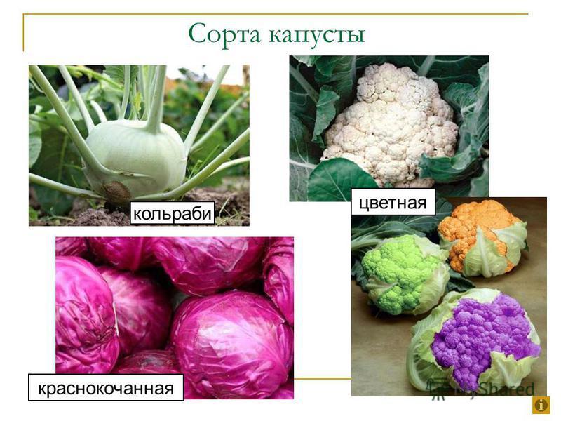 Сорта капусты кольраби краснокочанная цветная