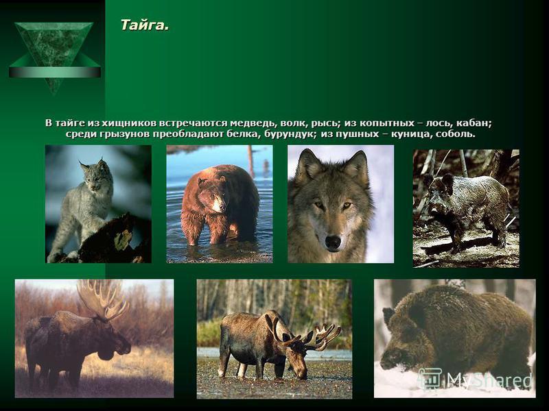 Тундра. В тундре количество наземных животных несколько увеличивается, хотя и здесь представлено небольшое число их видов: лемминги, заяц-беляк, волк, песец, белая куропатка, полярная сова, северный олень. Особенно многочисленны водоплавающие птицы: