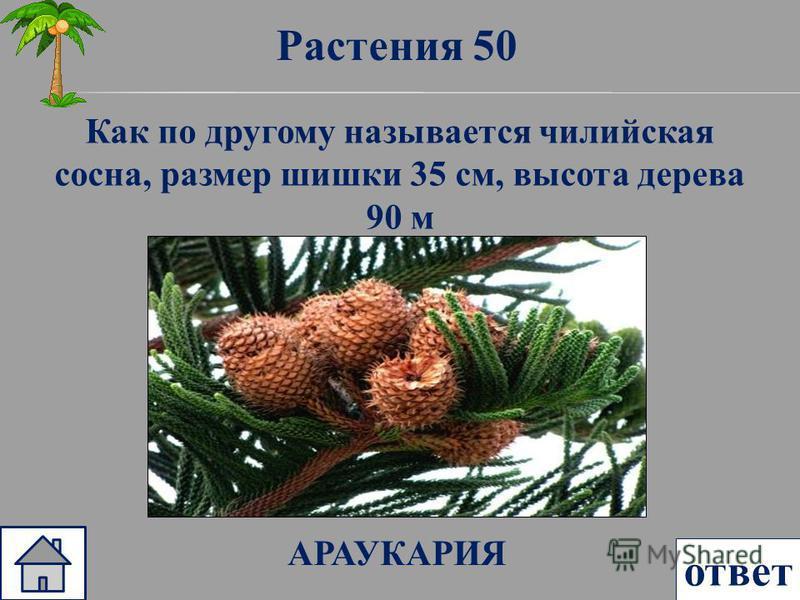 Растения 50 ответ Как по другому называется чилийская сосна, размер шишки 35 см, высота дерева 90 м АРАУКАРИЯ