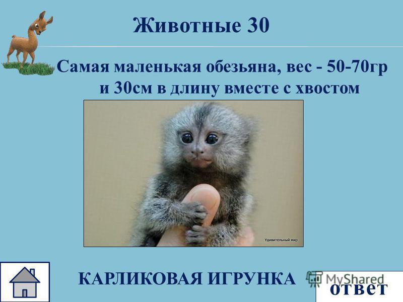 ответ Самая маленькая обезьяна, вес - 50-70 гр и 30 см в длину вместе с хвостом Животные 30 КАРЛИКОВАЯ ИГРУНКА