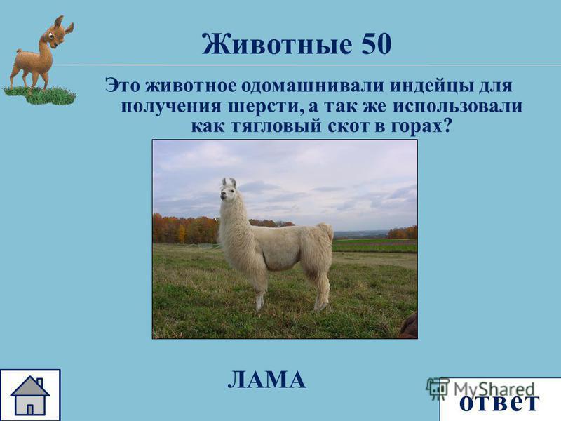 ответ Животные 50 Это животное одомашнивали индейцы для получения шерсти, а так же использовали как тягловый скот в горах? ЛАМА