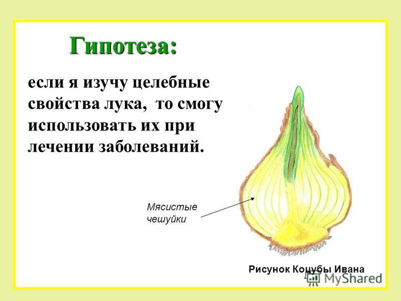 Гипотеза: если я изучу целебные свойства лука, то смогу использовать их при лечении заболеваний. Рисунок Коцубы Ивана Мясистые чешуйки