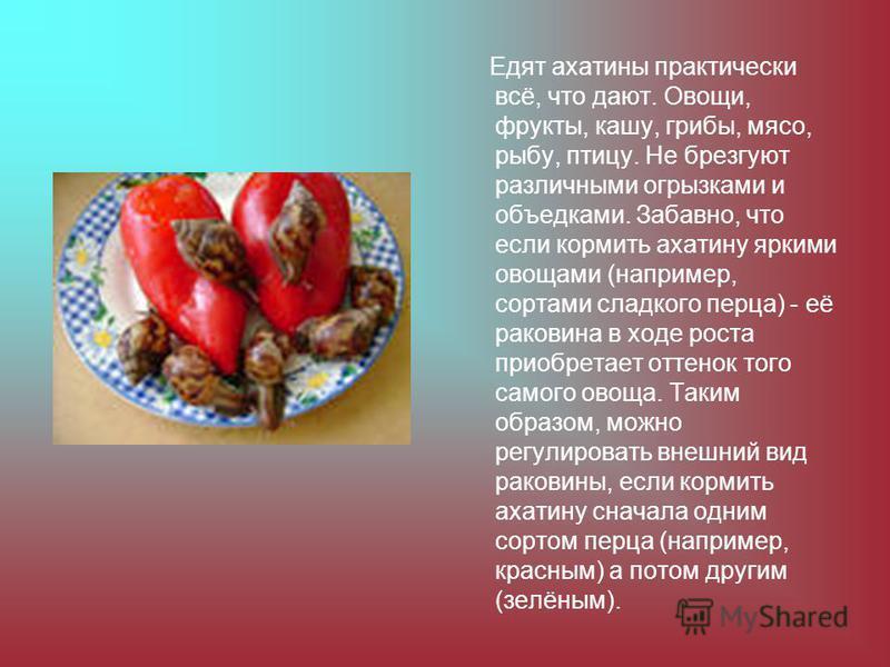 Едят ахатины практически всё, что дают. Овощи, фрукты, кашу, грибы, мясо, рыбу, птицу. Не брезгуют различными огрызками и объедками. Забавно, что если кормить ахатину яркими овощами (например, сортами сладкого перца) - её раковина в ходе роста приобр
