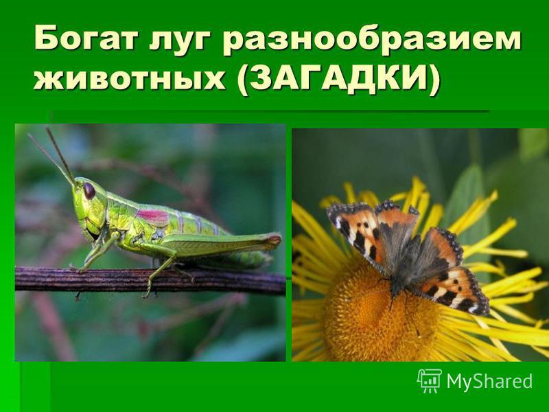 Богат луг разнообразием животных (ЗАГАДКИ)
