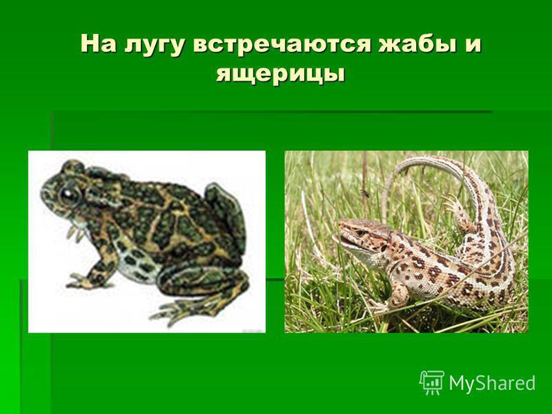 На лугу встречаются жабы и ящерицы