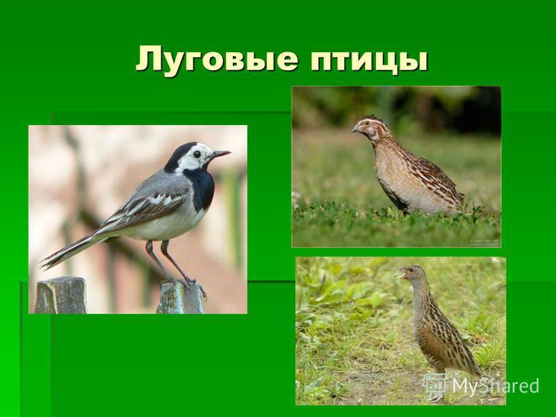 Луговые птицы