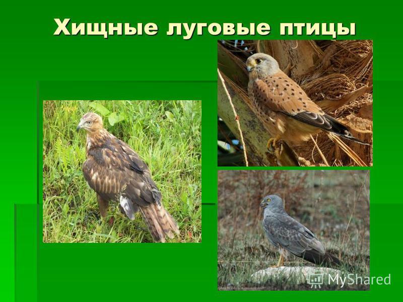 Хищные луговые птицы