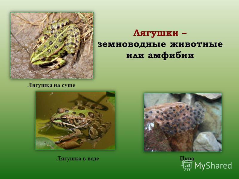 Лягушки – земноводные животные или амфибии Лягушка на суше Лягушка в воде Икра