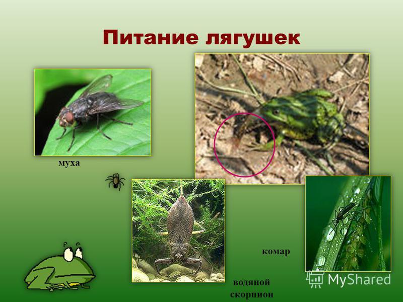 Питание лягушек муха водяной скорпион комар