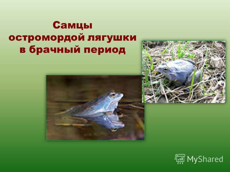 Самцы остромордой лягушки в брачный период