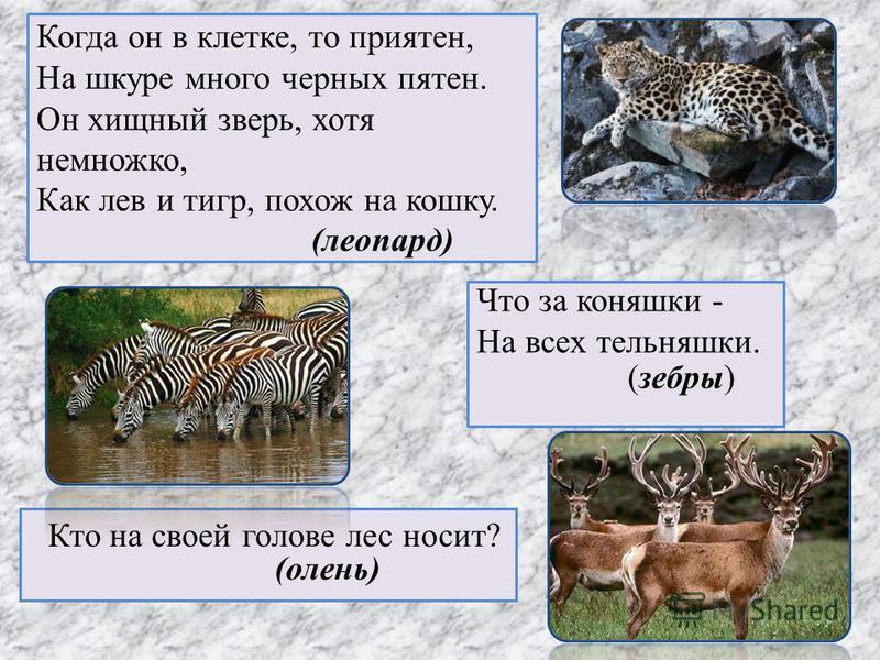 Когда он в клетке, то приятен, На шкуре много черных пятен. Он хищный зверь, хотя немножко, Как лев и тигр, похож на кошку. Что за коняшки - На всех тельняшки. Кто на своей голове лес носит? (леопард) (зебры) (олень)