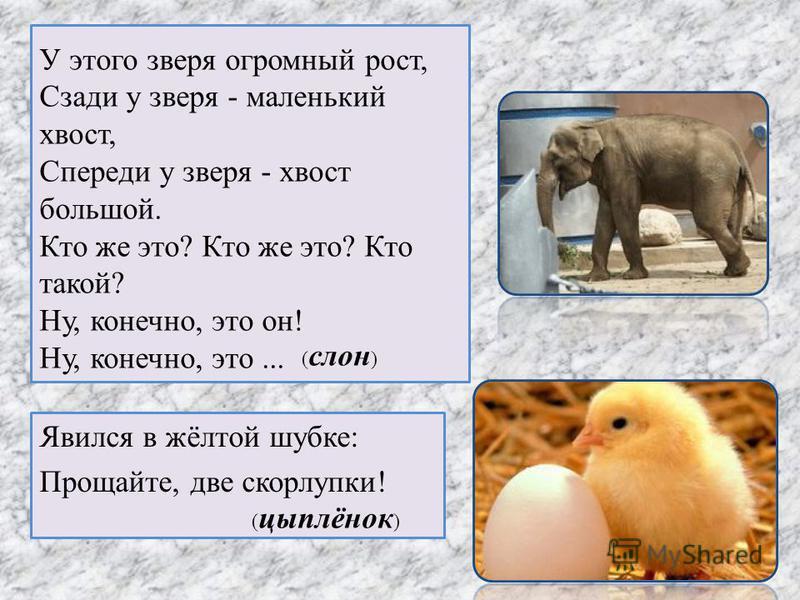 У этого зверя огромный рост, Сзади у зверя - маленький хвост, Спереди у зверя - хвост большой. Кто же это? Кто же это? Кто такой? Ну, конечно, это он! Ну, конечно, это... Явился в жёлтой шубке: Прощайте, две скорлупки! ( слон ) ( цыплёнок )