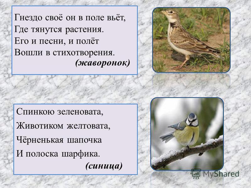 Гнездо своё он в поле вьёт, Где тянутся растения. Его и песни, и полёт Вошли в стихотворения. Спинкою зеленовата, Животиком желтовата, Чёрненькая шапочка И полоска шарфика. (жаворонок) (синица)