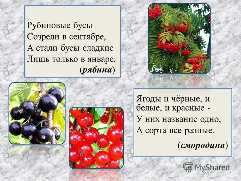 Рубиновые бусы Созрели в сентябре, А стали бусы сладкие Лишь только в январе. Ягоды и чёрные, и белые, и красные - У них название одно, А сорта все разные. (рябина) (смородина)