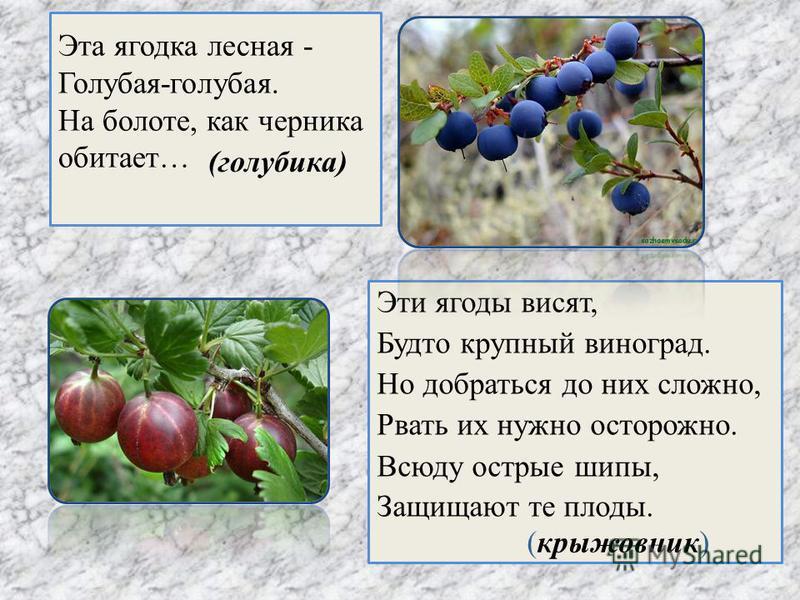 Эта ягодка лесная - Голубая-голубая. На болоте, как черника обитает… Эти ягоды висят, Будто крупный виноград. Но добраться до них сложно, Рвать их нужно осторожно. Всюду острые шипы, Защищают те плоды. (голубика) (крыжовник)