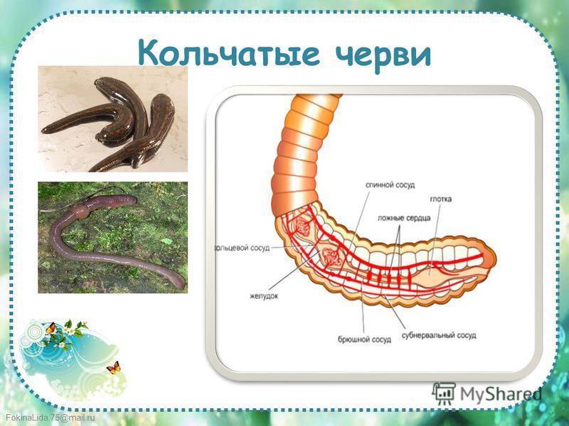 FokinaLida.75@mail.ru Кольчатые черви