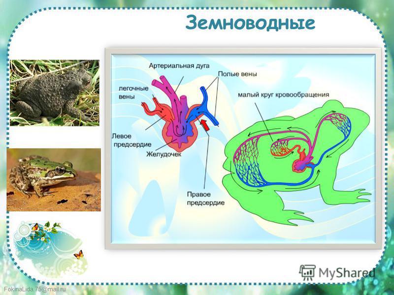 FokinaLida.75@mail.ru Земноводные