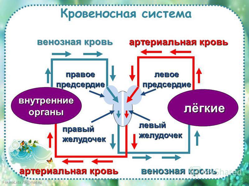 FokinaLida.75@mail.ru Кровеносная система лёгкие внутренние органы правый желудочек правое предсердие левое предсердие артериальная кровь венозная кровь артериальная кровь венозная кровь левый желудочек