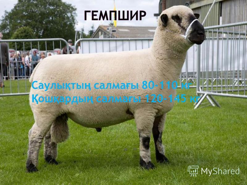 Саулы қ ты ң салма ғ ы 80-110 кг Қ ош қ арды ң салма ғ ы 120-145 кг