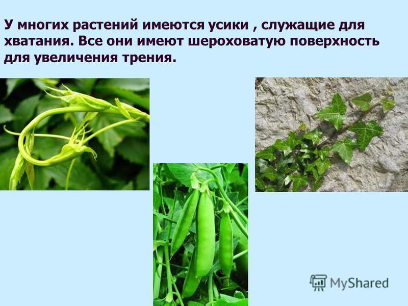 У многих растений имеются усики, служащие для хватания. Все они имеют шероховатую поверхность для увеличения трения.