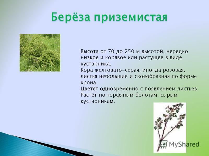 Берёза приземистая Высота от 70 до 250 м высотой, нередко низкое и корявое или растущее в виде кустарника. Кора желтовато-серая, иногда розовая, листья небольшие и своеобразная по форме крона. Цветёт одновременно с появлением листьев. Растёт по торфя
