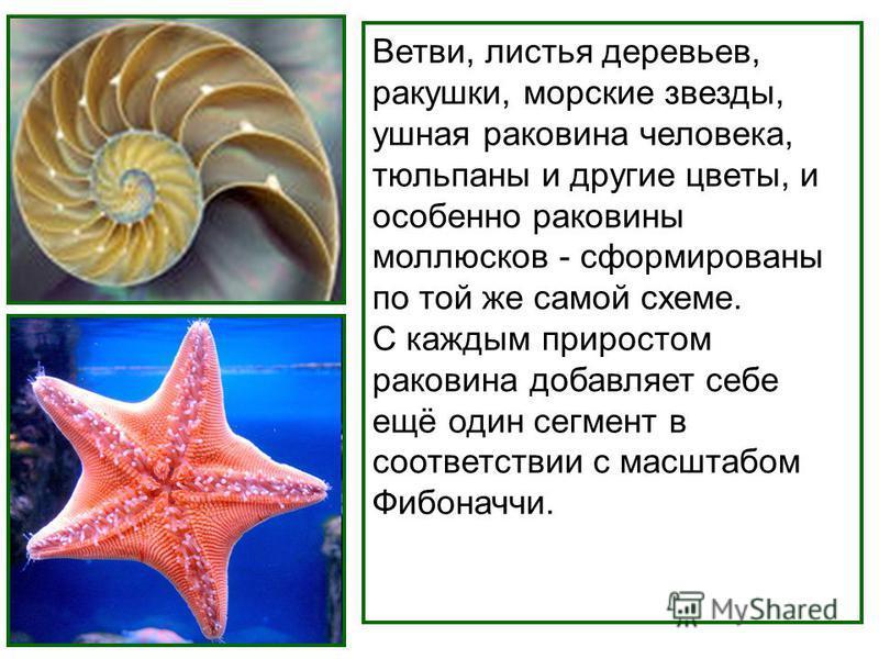 Ветви, листья деревьев, ракушки, морские звезды, ушная раковина человека, тюльпаны и другие цветы, и особенно раковины моллюсков - сформированы по той же самой схеме. С каждым приростом раковина добавляет себе ещё один сегмент в соответствии с масшта