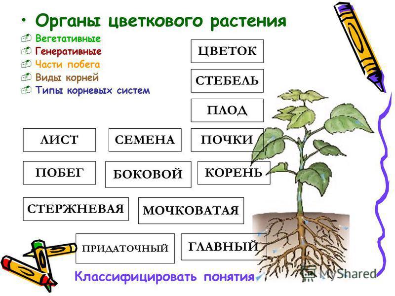 Органы цветкового растения Вегетативные Генеративные Части побега Виды корней Типы корневых систем ЛИСТ СТЕБЕЛЬ ПОЧКИ ПОБЕГ ГЛАВНЫЙ БОКОВОЙ ПРИДАТОЧНЫЙ ПЛОД ЦВЕТОК СЕМЕНА МОЧКОВАТАЯ СТЕРЖНЕВАЯ КОРЕНЬ Классифицировать понятия