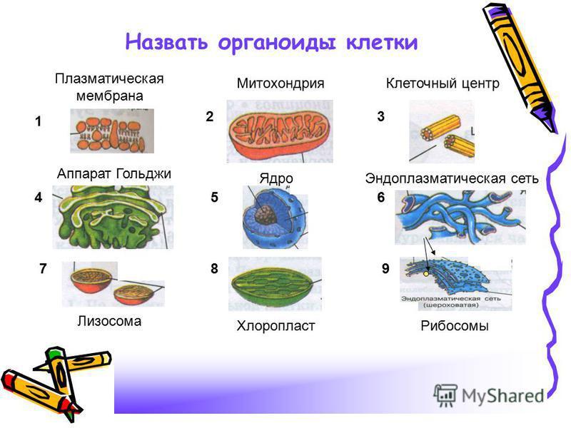 Назвать органоиды клетки 1 23 456 789 Ядро, клеточный центр, аппарат Гольджи, хлоропласт, рибосомы, каналы эндоплазматической сети, митохондрии, плазматическая мембрана, лизосома Плазматическая мембрана Митохондрия Клеточный центр Аппарат Гольджи Ядр
