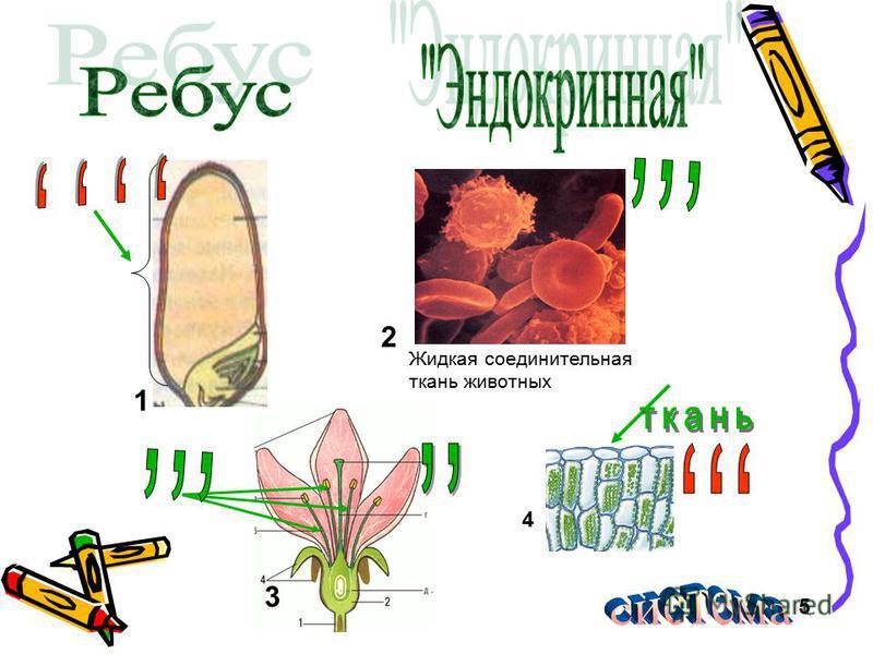 1 2 Жидкая соединительная ткань животных 3 4 5
