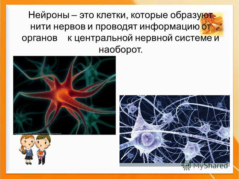 Нейроны – это клетки, которые образуют нити нервов и проводят информацию от органов к центральной нервной системе и наоборот.