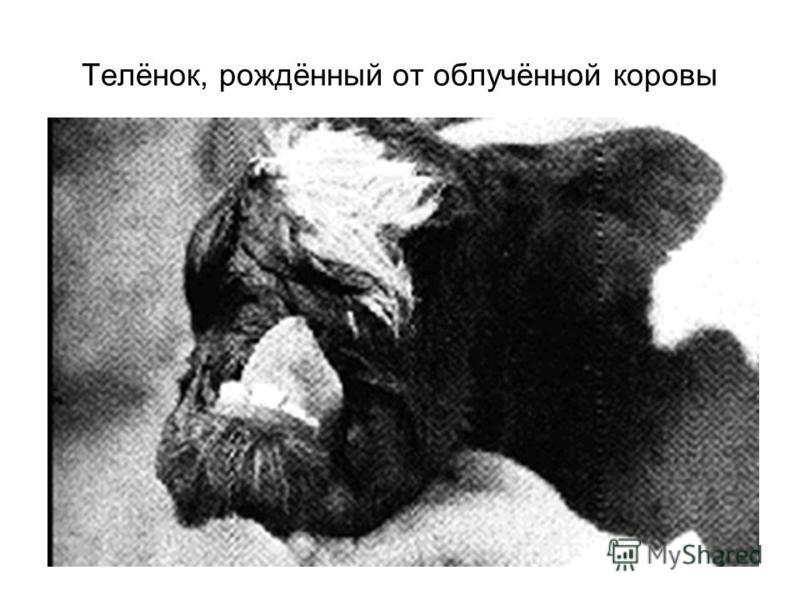 Телёнок, рождённый от облучённой коровы