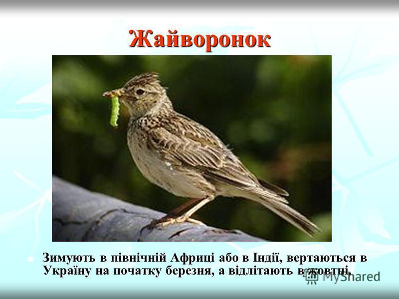 Ластівка Це перелітний птах, що мешкає в Європі, Азії, Африці і Америці. Прилітає в другій половині квітня. Це перелітний птах, що мешкає в Європі, Азії, Африці і Америці. Прилітає в другій половині квітня.