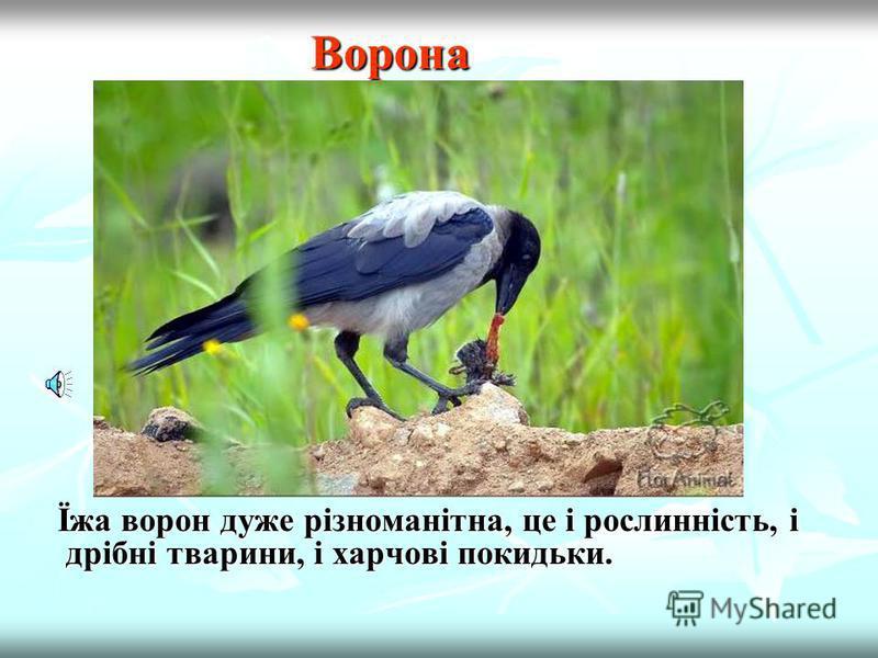Голуб Володіючи прекрасним зором, цей птах здатний Володіючи прекрасним зором, цей птах здатний розрізняти ультрафіолетове проміння. Живиться рослинною їжею.