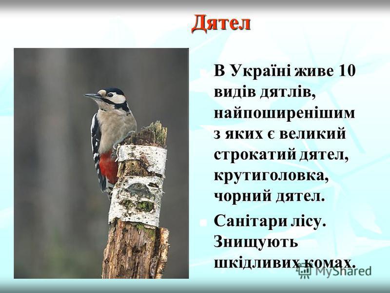 В Україні звичайний осілий птах на всій території. Живиться переважно комахами, іноді рослинною їжею. Сорока Сорока