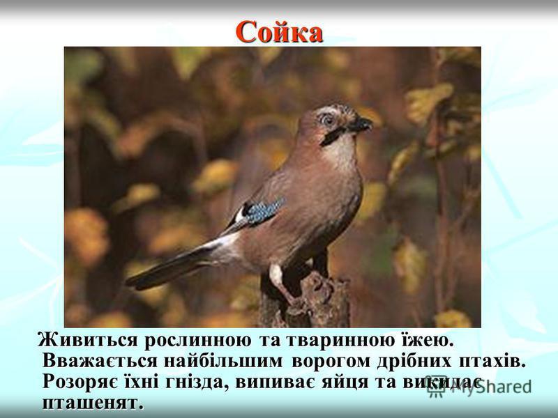 Дятел В Україні живе 10 видів дятлів, найпоширенішим з яких є великий строкатий дятел, крутиголовка, чорний дятел. В Україні живе 10 видів дятлів, найпоширенішим з яких є великий строкатий дятел, крутиголовка, чорний дятел. Санітари лісу. Знищують шк