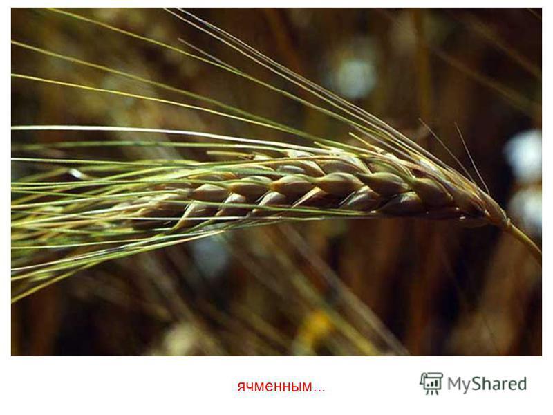 Оно бывает самым разным, например, кукурузным...