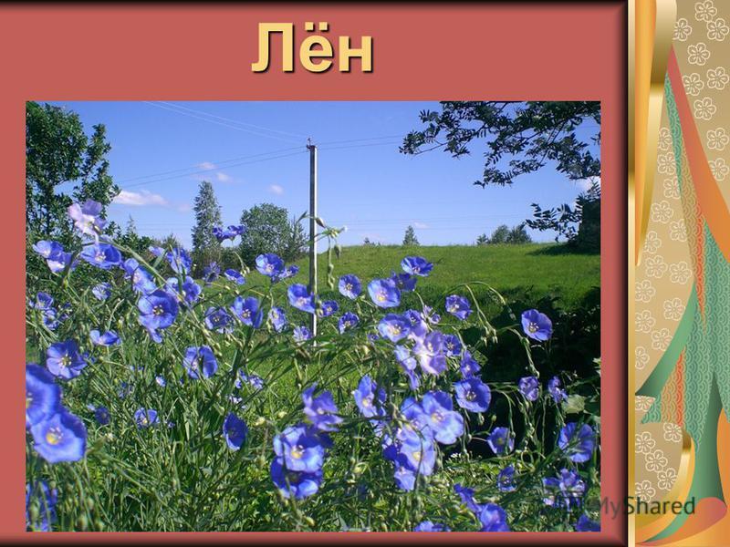 Лён Из земли вырастаю- Из земли вырастаю- Весь мир одеваю. Весь мир одеваю. Мои синие цветочки Мои синие цветочки Превратятся все в Превратятся все в сорочки. сорочки.