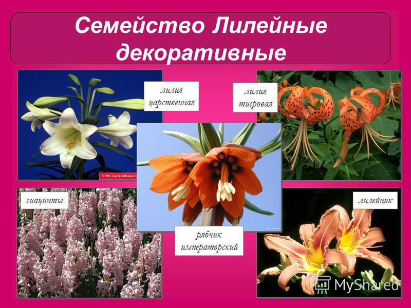 лилия тигровая лилия царственная рябчик императорский гиацинты лилейник Семейство Лилейные декоративные