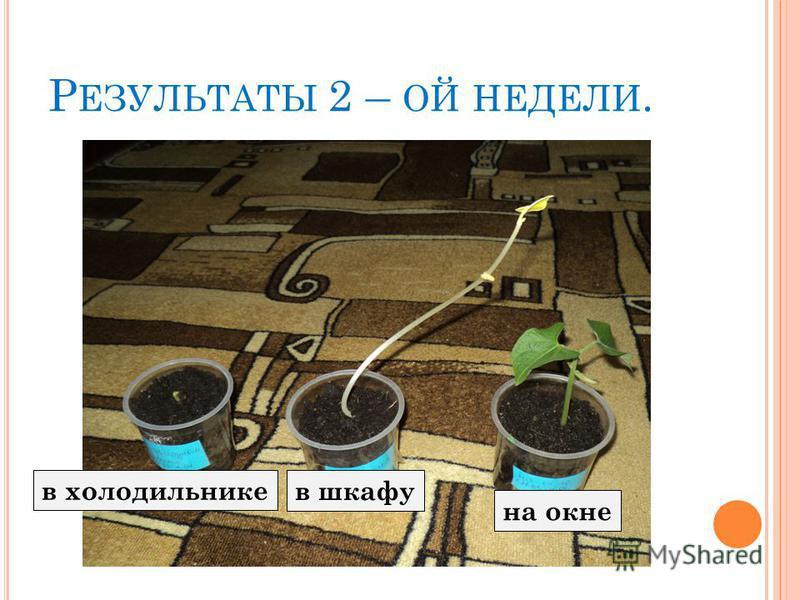 Р ЕЗУЛЬТАТЫ 2 – ОЙ НЕДЕЛИ. в шкафу в холодильнике на окне