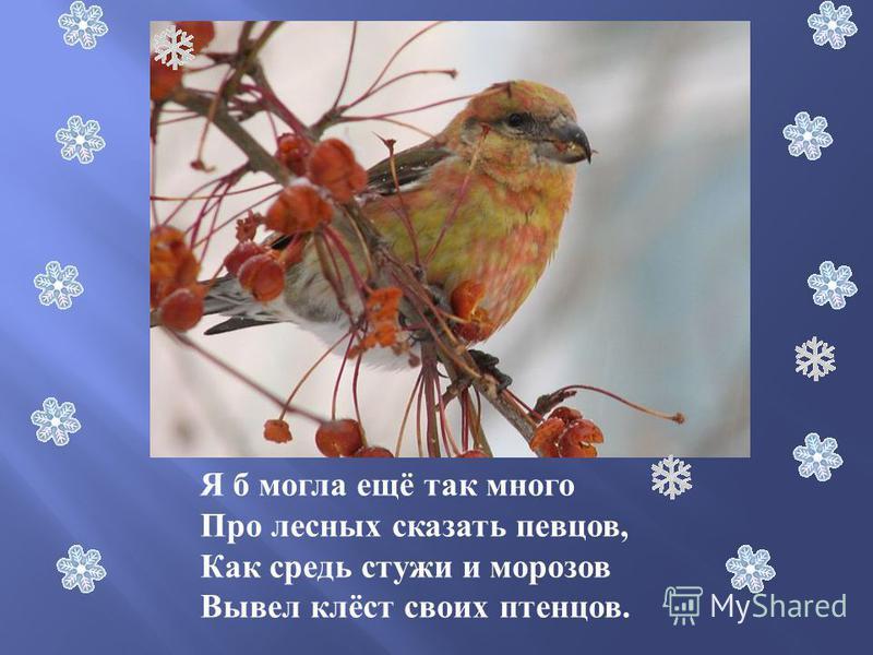 Я б могла ещё так много Про лесных сказать певцов, Как средь стужи и морозов Вывел клёст своих птенцов.