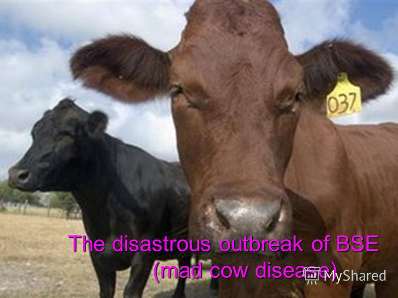 The disastrous outbreak of BSE (mad cow disease) The disastrous outbreak of BSE (mad cow disease)