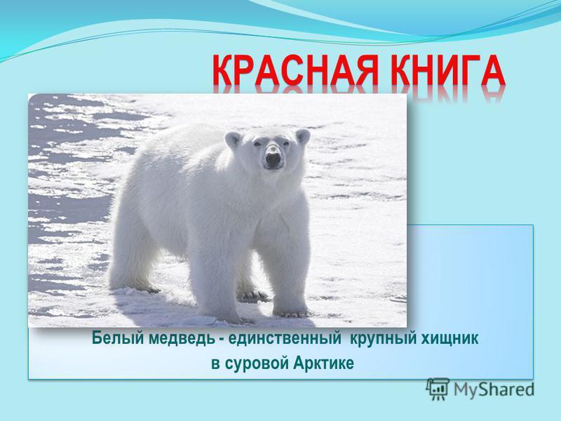 Белый медведь - единственный крупный хищник в суровой Арктике Белый медведь - единственный крупный хищник в суровой Арктике